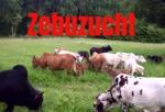 Zollernalb Zebu Zucht